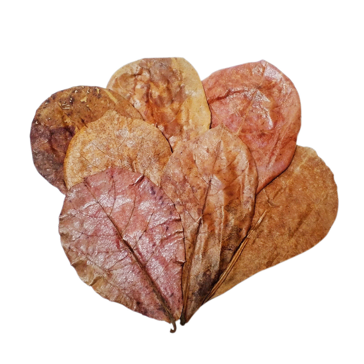 5″- 7″ Indian Almond Leaf (Terminalia Catappa)<br> Our Indian Almond Leaves Are Shipped Direct From California For FAST 2~5 DAY Service